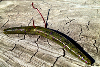 image of Yum Dinger worm rigged wacky style