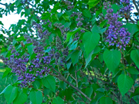 image of Lilac bushes