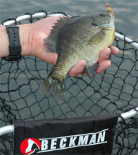 Bluegill In Net