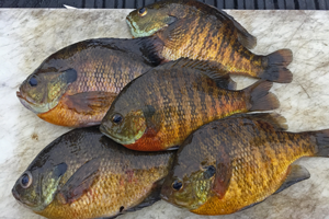 image of 5 bluegills for a meal