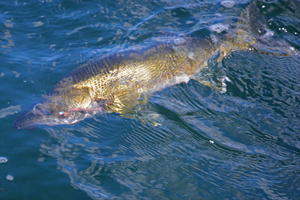 image of walleye in clear water