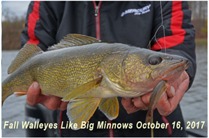 image of big minnow in walleye mouth