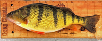 image of jumbo perch