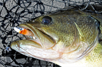 image of largemouth bass