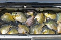 image of bluegills in livewell