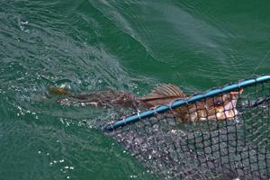 image of walleye coming into net
