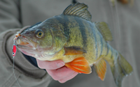 image of perch caught on frostee jigging spoon