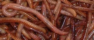 image of night crawlers