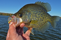 image of crappie caught on lindy ice worm