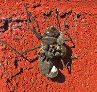 image of Dragonfly Nymph with Zebra Mussels Attached