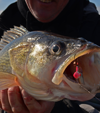 image links to Rainy River Walleye report