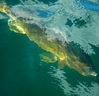 image of walleye under water