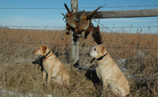 Pheasant Hunt Yellow Labs