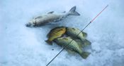 Ice Crappies
