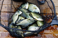 Crappie Fishing Lake Osakis