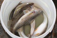 Walleye and Sauger in Bucket