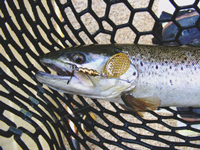 LaRue Pit Brown Trout