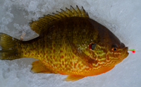 Sunfish Lindy Toad