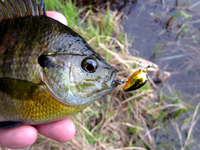 Bluegill Fishing