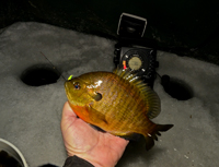 Ice Fishing Bluegill Grand Rapids MN