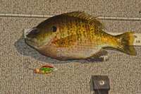 Lindy Spinner used to catch bigger Bluegill
