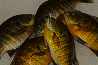 Lindy Ice Jig Bluegills