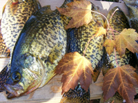 Crappies Caught by Greg Clusiau