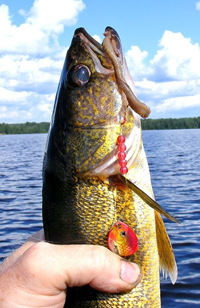 Walleye caught on Kabetogama trolling Northland Spinner