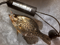 image of Crappie on ice