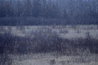Snow Falling Over Tall Grass