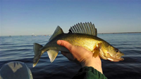 image of Red Lake Walleye in the hand of a fisherman
