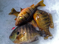 image of Bluegill, Sunfish and Perch on ice