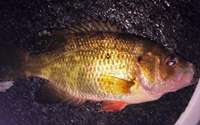 image of Rock Bass