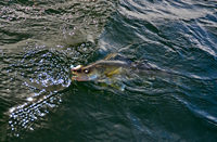 image of Walleye in the water with jig and minnow in mouth
