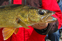 image of Walleye caught on a 1/4 ounce Lindy Jig