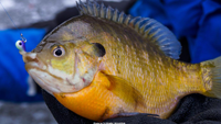 image of ice fisherman with bluegill in hand