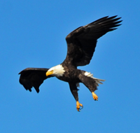 image of Bald Eagle