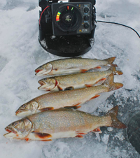 image Rainbow Trout on the ice