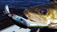 image of Walleye caught with crankbait