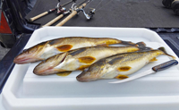 image of Walleyes on the fillet table