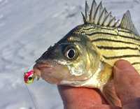 image of Yellow Bass with ice jig in its mouth