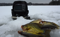 image of crappies caught on a tungsten toad