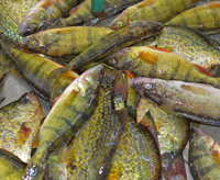 image of mixed Crappie Perch and Walleye