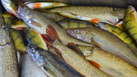 image of mixed bag walleye perch and pike