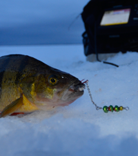 image of Perch with Perch Talker Lure in mouth