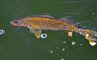 image of Winnie Walleye in clear water
