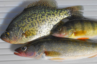 image of walleye crappie and perch on fillet table