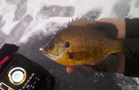 image links to article about late winter panfish
