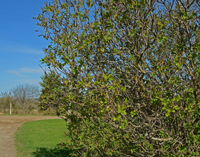 image of Lilac Bush Beginning to bud