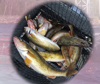 image of limit of Walleyes caught on Leech Lake